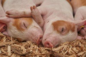 Zwei kleine, süße schlafende Schweinchen.