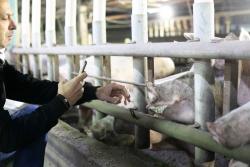 Nir Rosenfeld in einem Schweinestall in Israel.